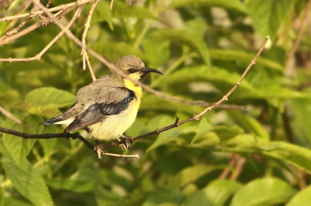 Purple Rumped Sunbird - Male eclipse plumage