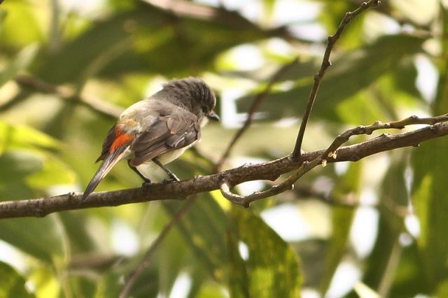 Smalle Minivet - Female