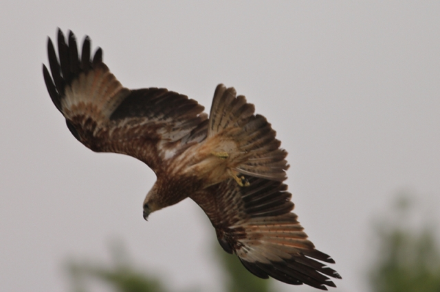 Black Kite dived for Prey