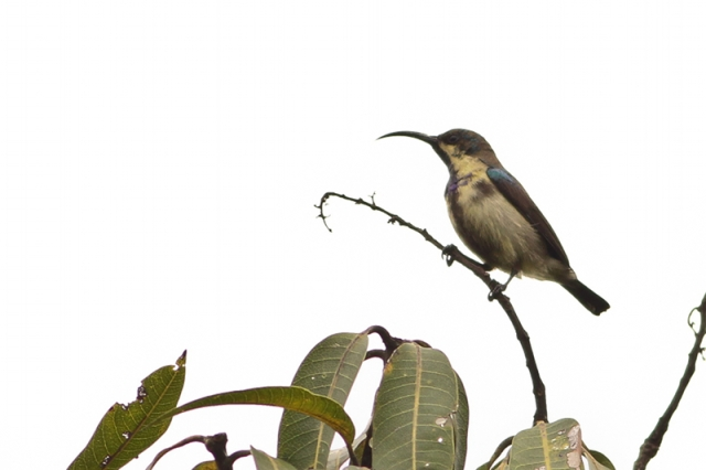 Purple Sunbird - Eclipse Plumage