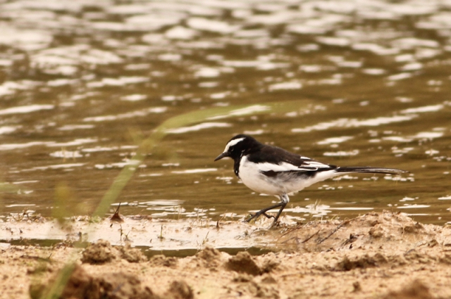 Large Grey Wagtail
