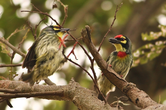 Coppersmith Barbet - Lets work