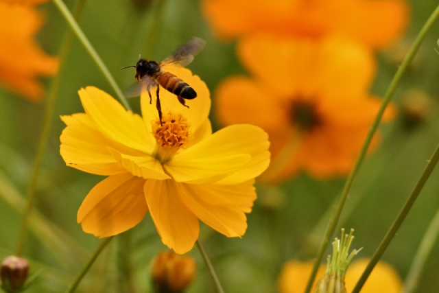 Bee coming on Orange Cosmos