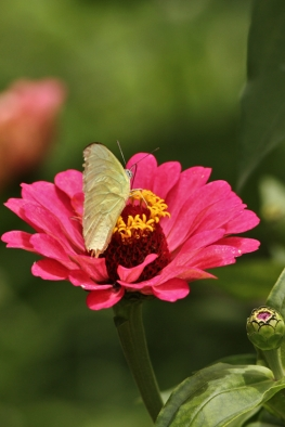 Common Grass Yellow on Zinnia flower