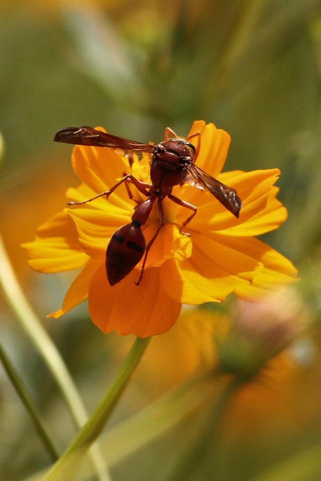 Wasps at Orange Cosmos