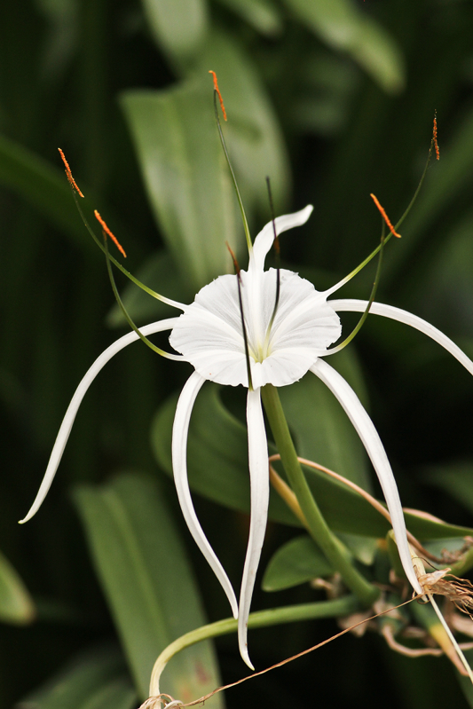 Grand Crinum Lily - Always in Lalbagh