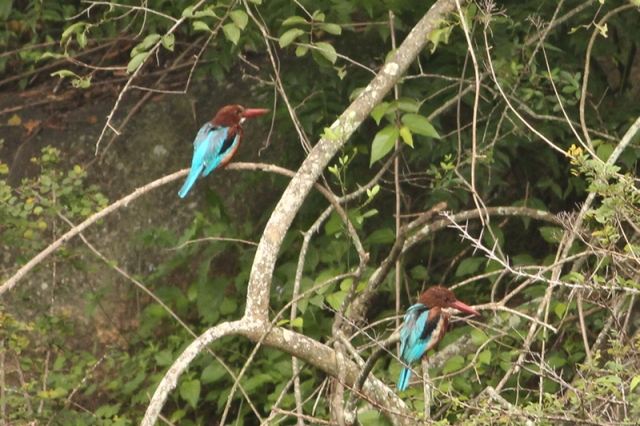 White throated Kingfishers