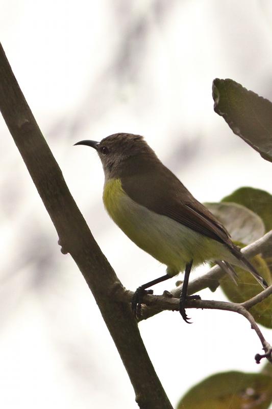 Purple Rumped Sunbird
