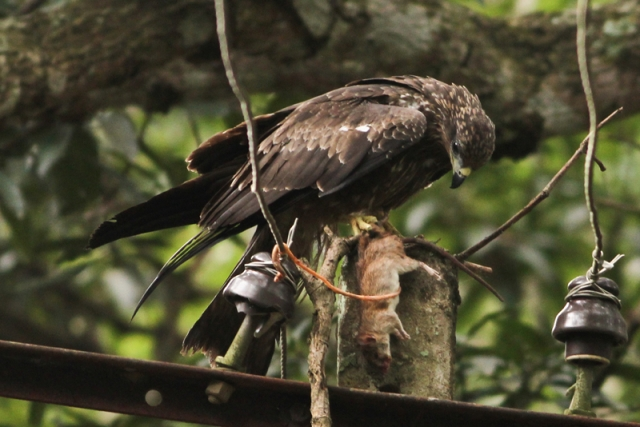 Black kite with prey - he rejected the prey