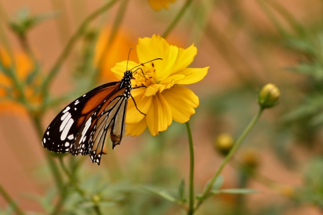 Stripped Tiger on Orange Cosmos