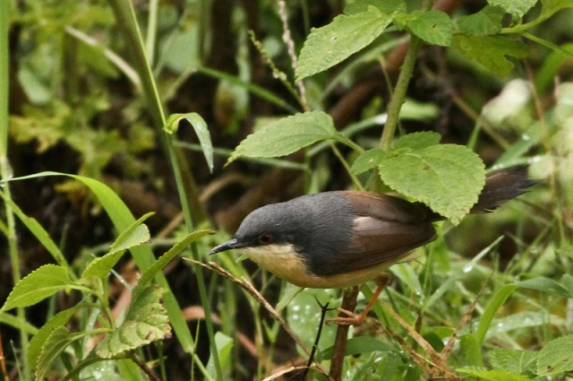 Ashy Prinia poping out from inside