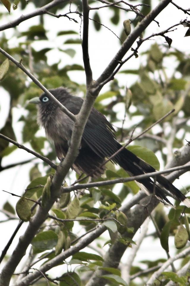 Blue Faced Malkoha - Jumping on tree