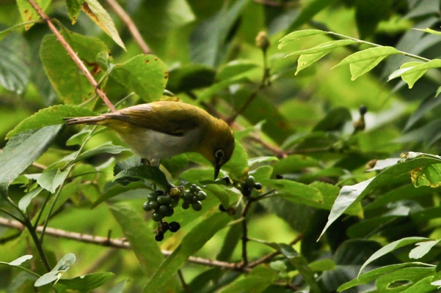 Oriental White eye ..a small beauty