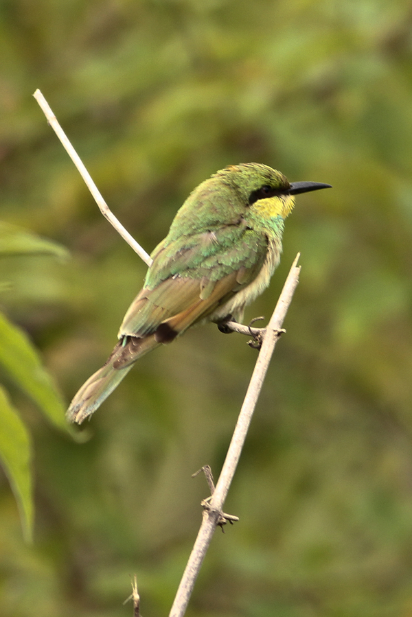 Small Green Bee-eater Juv