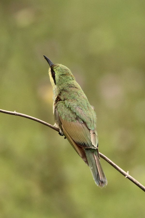 Small Bee-eater before the catch.