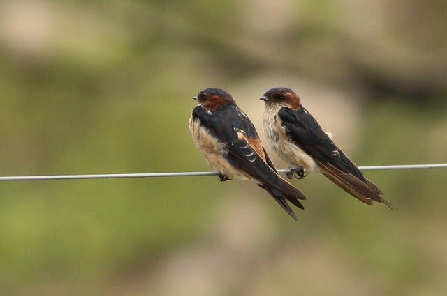 Red Rumped Swallows - in a discussion