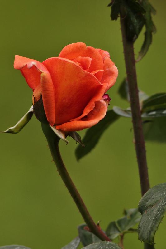 Hybrid Red Rose