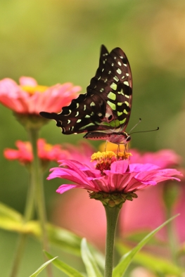 Tailed jay on Zinnia flower