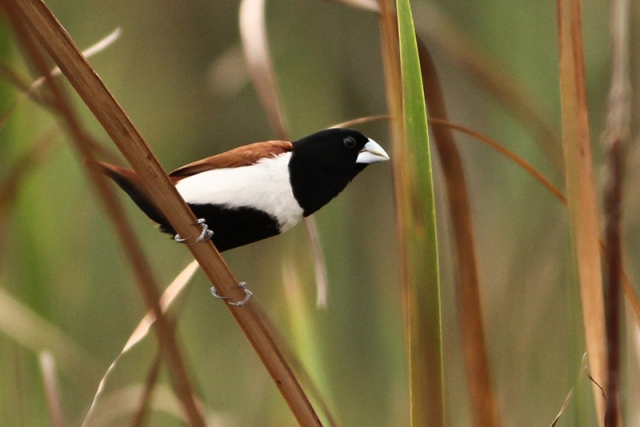 Black Headed Munia
