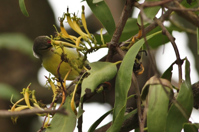 Purple Rumped Sunbird - sicking the nectar