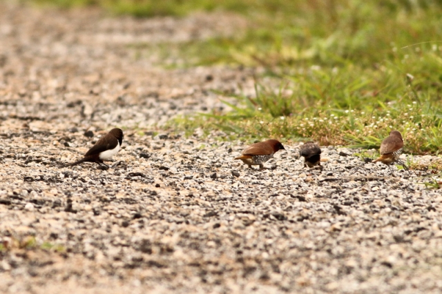 Scaly Breasted Munia - Family