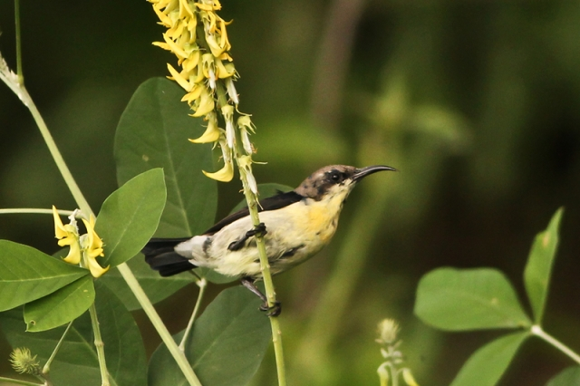 Purple Rumped Sunbird - Juv