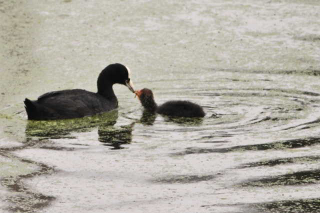 Common Coot and the love