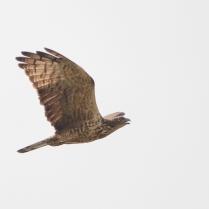Oriental Honey Buzzard at flight