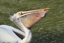 Spotted Billed Pelican - Glup the fish