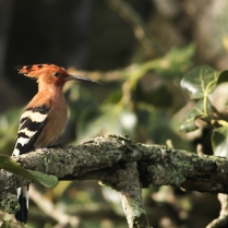 Common Hoopee