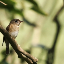 Brown Breasted Flycatcher - A beautiful eyes