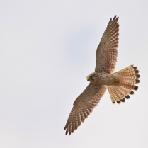 Common Kestrel with a sharp view on prey