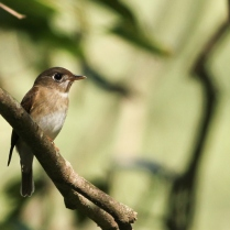 brown breasted flycatcher - winter migrant