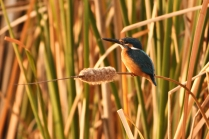 Vijay Malliya should be happy. Blue Kingfisher in the early morning view.