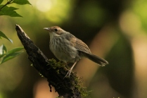 Puff throated Babbler - In the morning shine at Nandi Hills.