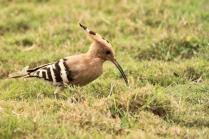 Common Hopoee becoming uncommon now
