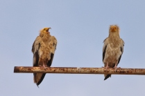Egyptian vulture - pair. Shot at Nandi Hills. This rare beauty sighted at some places near Bangalore and this is good news.