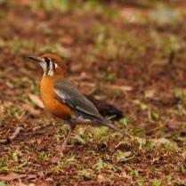 Orange Headed Thrush - What a look