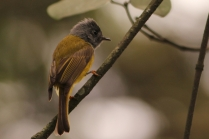 Grey Headed Canary Flycatcher- Shot at Nandi Hills. A small beauty