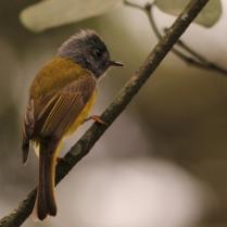 Grey Headed Canary Flycatcher- Shot at Nandi Hills. A small beauty