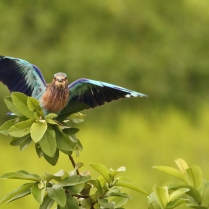 True Colors - Indian Roller.