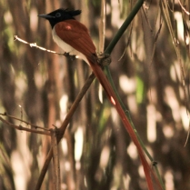 Asian Paradise Flycatcher - Young Adult