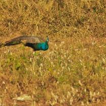 Peafowl - such a common bird in North but we need to struggle in Bangalore to get it. At least to me.