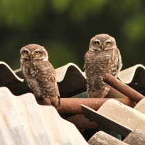 Spotted Owlet - Pair. Always delights with their presence.