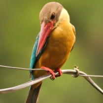 stork billed kingfisher - Shot at Chandipur, Orissa. This beauty is less but spread across the India Map