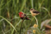 Red Munia - Pair. A true blend of color