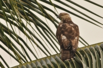 Honey Buzzard and a questionable neck
