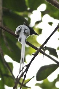 Asian Paradise Flycatcher - Male