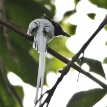 Asian Paradise Flycatcher - Male
