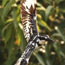 Pied kingfisher - Shot at Anekal Lake. Hunting at its best.